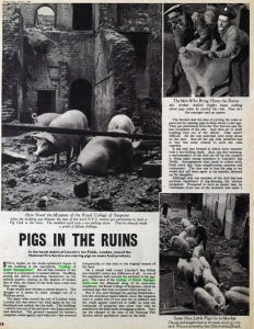 Pigs in the ruins