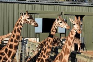 Giraffes at Woburn Safari Park
